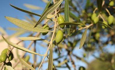 controindicazioni infuso di foglie di olivo